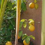 citronier