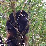 Howler monkey on mangrove tour