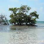 Mangrove tree at Anne's Beach