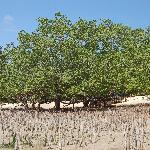 Strand mit Mangroven bei Ebbe