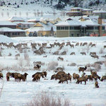 Elk wintering in Eagle Ranch