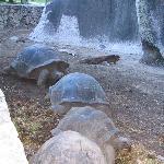 dans l'enclos, des tortues géantes à la queuleuleu!