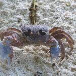 magnifique crabe bleu se balladant sur la plage de l'anse source d'argent
