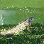 Iguana roaming the grounds