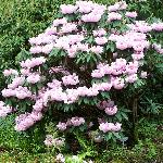 Rhododendron Species Garden
