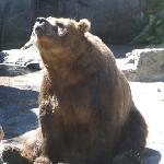 Brown Bear