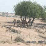 Some camels on the road