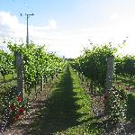 adjoining vineyard