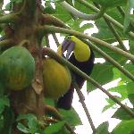 Toucan eating papaya
