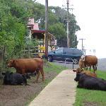 Cows soak up the friendly atmosphere on Norfolk Island