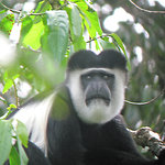 Black and White (Colobus) Monkey