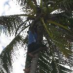 Raccolta di noce di cocco