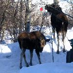 Two Moose Having A Snack