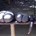 Coco fesse  et coco mâle de la Vallée de Mai