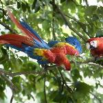 scarlet macaws visit and monkeys too