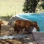 Horses drinking from pool