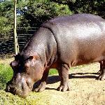 The resident hippo having breakfast