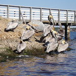 the Pelicans