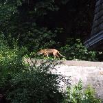 The resident fox.