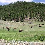 Bufallo Herd, Custer State Park
