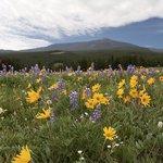 Bighorn alpine meadow