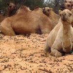 Camels around back that you can ride.