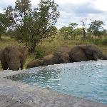 Elephants at the pool