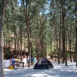 Tents under the pine trees