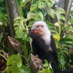 White faced monkey seen on the Cano Negro tour