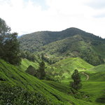 Cameron's : Scenic view of the Sungai Palas Tea Plantation
