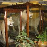 The owner's stuffed lions in the lobby