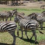 Zebras!