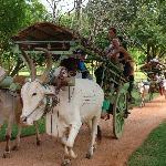 Bullock cart rides at Amaya Lake