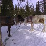Some reindeer (from the reindeer safari)