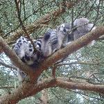 ringtail lemurs at monkey world