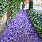 Just Follow the Carpet of Jacaranda Petals!