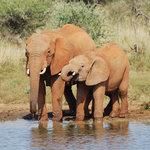 Elephants taking a drink