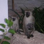 petits singes à l'hôtel