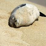 Poipu Beach-Monk Seal