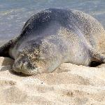 Poipu Beach-Monk Seal 2(Doesn't he look relaxed!)