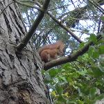 Red squirrel in garden of Rylstone Manor