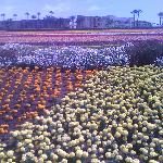 The flower fields which is infront of the hotel