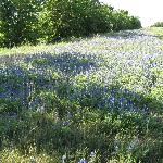 Bluebonnets of Texas