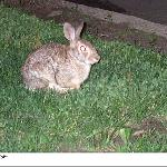 Neighborhood rabbit