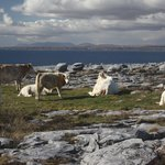 Ireland: co. Clare - Cattle at Fanore