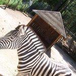 Zig Zag the zebra