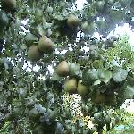 Fresh pears in the garden