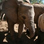 Baby Elephant feeding!