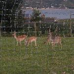 A couple of the deer