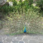 A peacock on the grounds shows off.